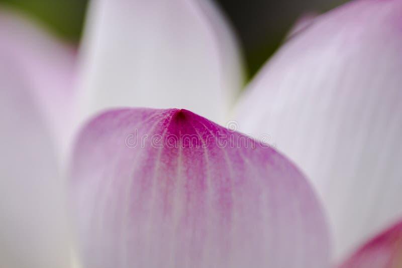 Płatki różowy lotos zdjęcia royalty free