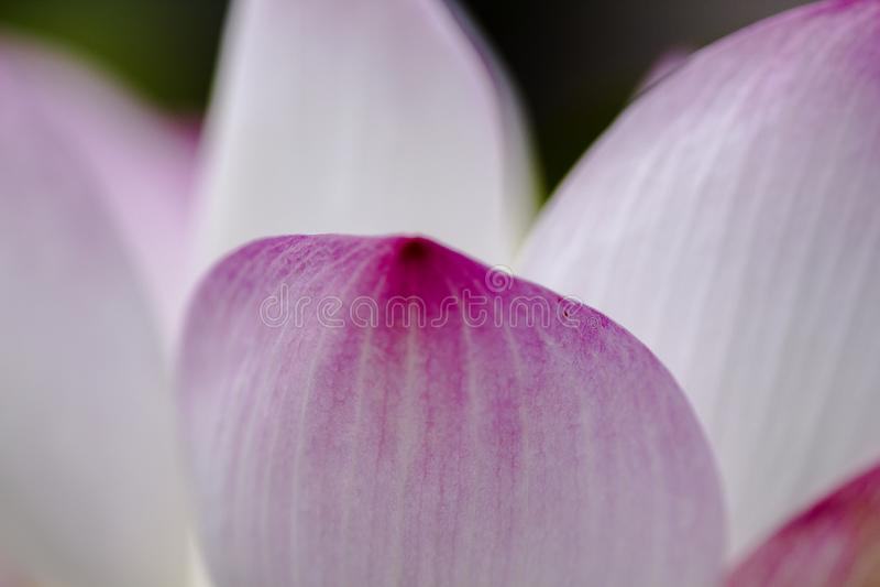 Płatki różowy lotos obraz stock