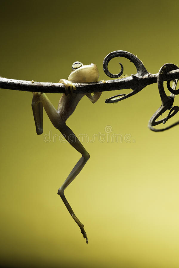 płazi zwierzęcy konserwaci żaby natury drzewo fotografia royalty free