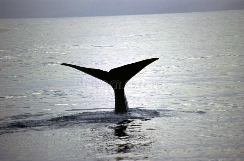 płetwal błękitny zdjęcie stock