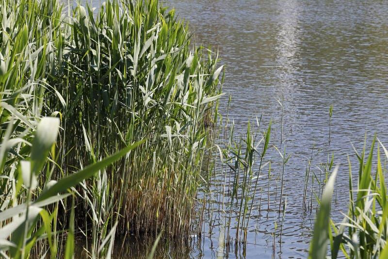 Płoch rośliny jeziorem zdjęcie royalty free