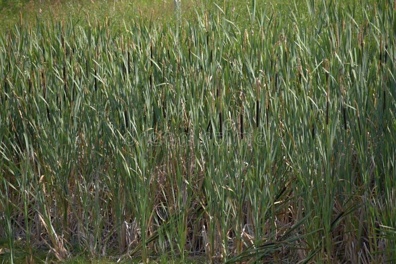płocha Cylindryczni kwiatów kolce sitowie wśród trzcinowych łóżek jezioro Dzika natura wokoło stawu zdjęcie stock