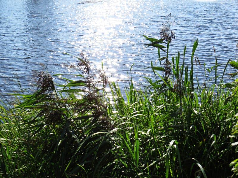 Płocha pośpiechu trawy roślina z Wodnym Rzecznym tłem bagna fotografia royalty free