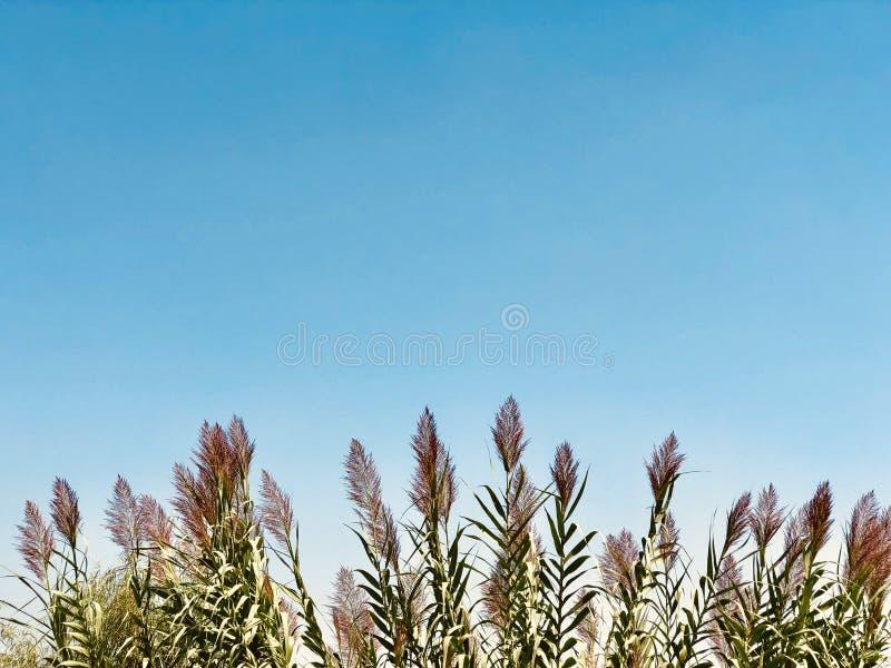 Płocha; przykop płocha; phragmites communis; prundo phragmites; przegięty błękitny tło zdjęcia royalty free