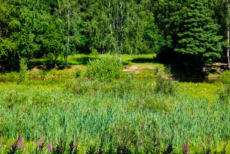 płochy, drzewa i nabrzeżna roślinność w lesie, zdjęcia stock