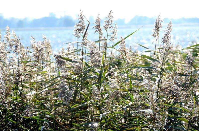 Płochy i trzcina przy jeziorem obraz stock