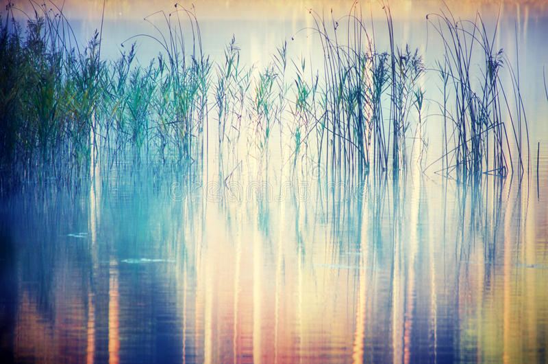 Płochy na jeziorze obrazy royalty free