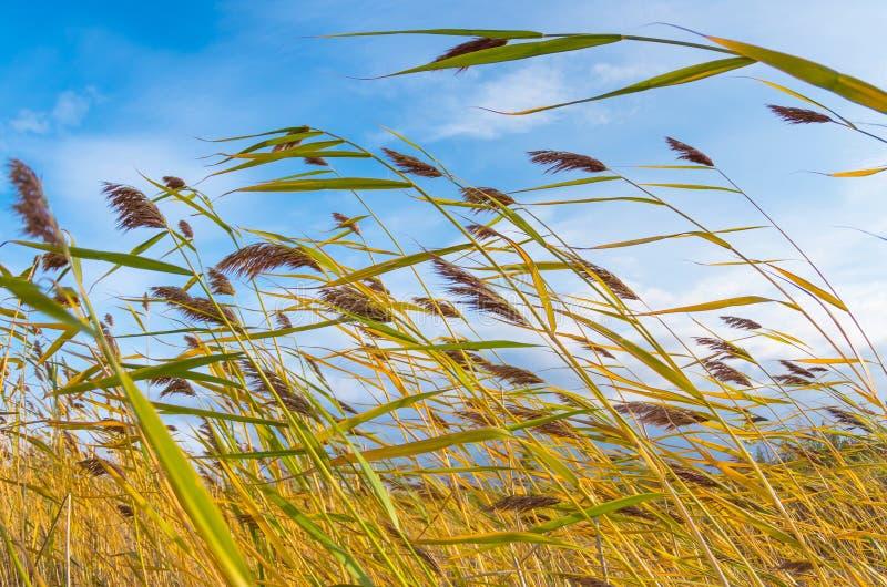 Płochy w wiatrze fotografia stock
