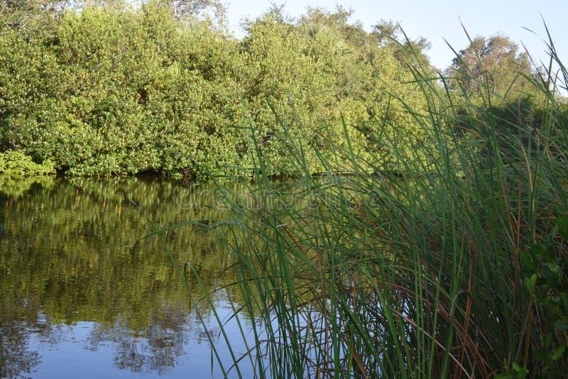 Płochy, zatoczka, drzewa w świetle słonecznym zdjęcie stock
