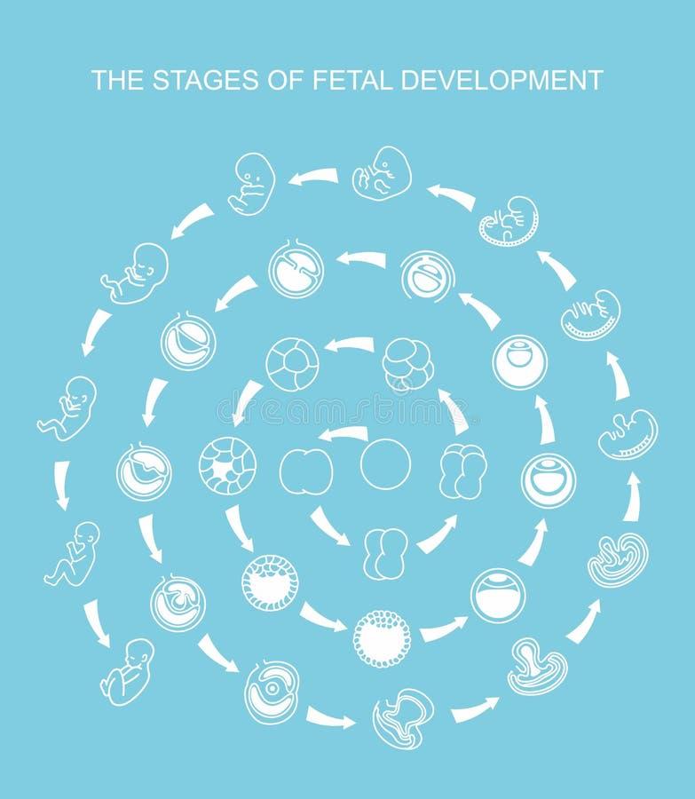Płodowy przyrost od nawożenia rodzić, płodu rozwój Płodu rozwój royalty ilustracja