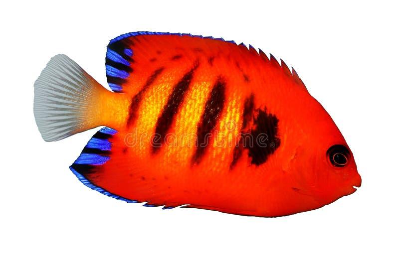 Płomienia Angelfish akwarium morskiej ryba Centropyge loriculus obraz stock
