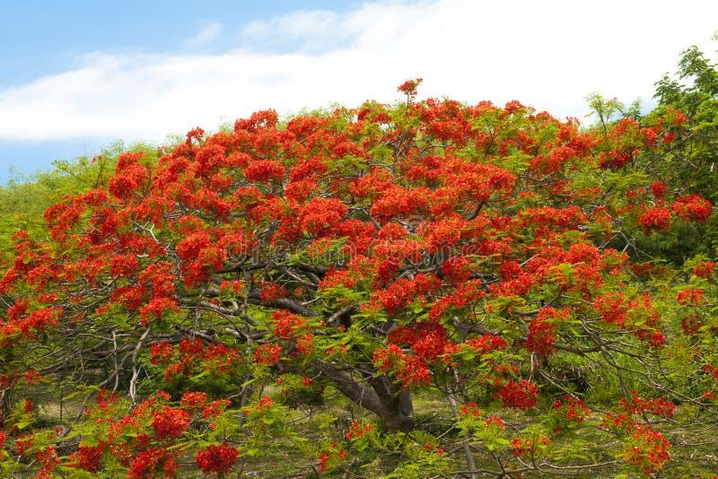 Płomienia drzewo fotografia royalty free