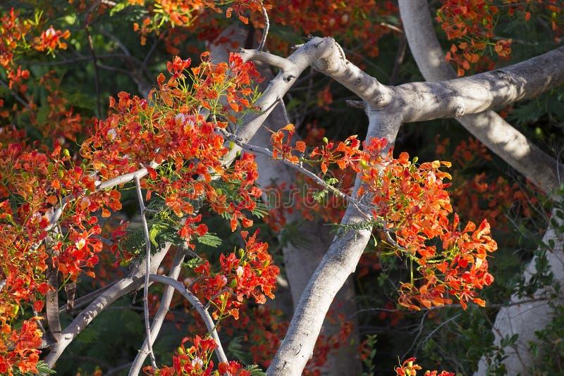 Płomienia drzewo drzewo pomyślny zdjęcia stock