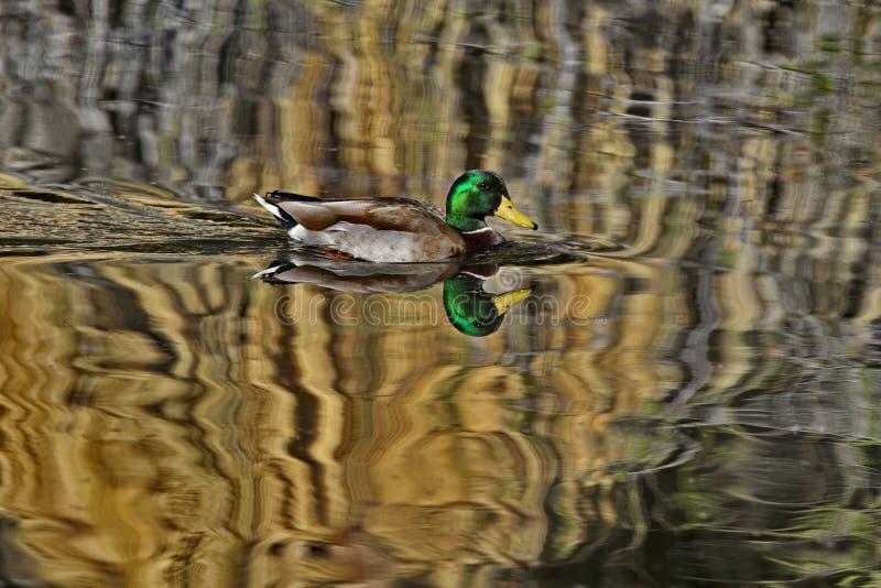 Płomykowy odbicie męski mallard kaczki dopłynięcie przez nasłonecznioną wodę zdjęcie stock