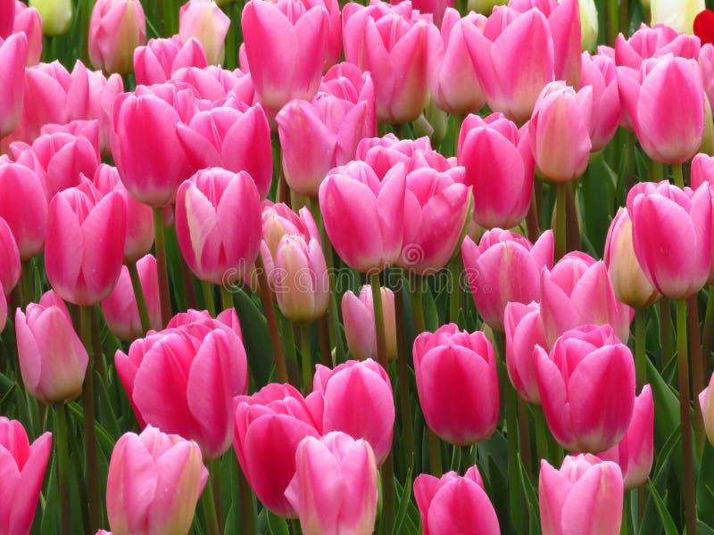 Płonąć Purissima akropolu tulipany Pi?kny R??owy i Bia?y tulipan?w kwiat?w wizerunek Wiele tulipany kwitnie w ogr?dzie fotografia royalty free