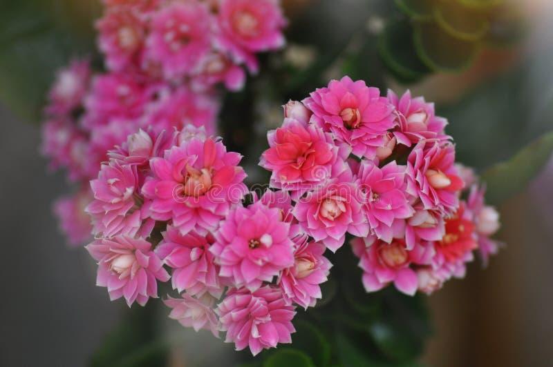Płonie Katy kwiat zdjęcie royalty free