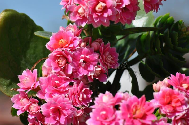 Płonie Katy kwiat fotografia stock