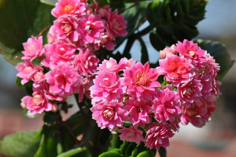 Płonie Katy kwiat fotografia royalty free