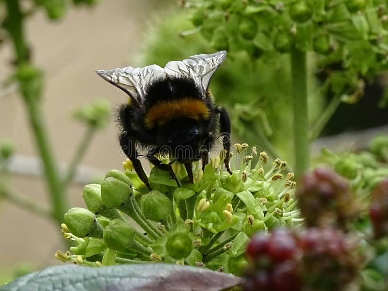 Płowy ogoniasty bumblebee zdjęcia stock