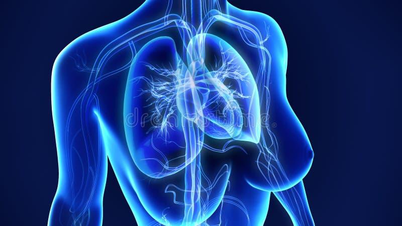 Płuca z sercem zdjęcia royalty free