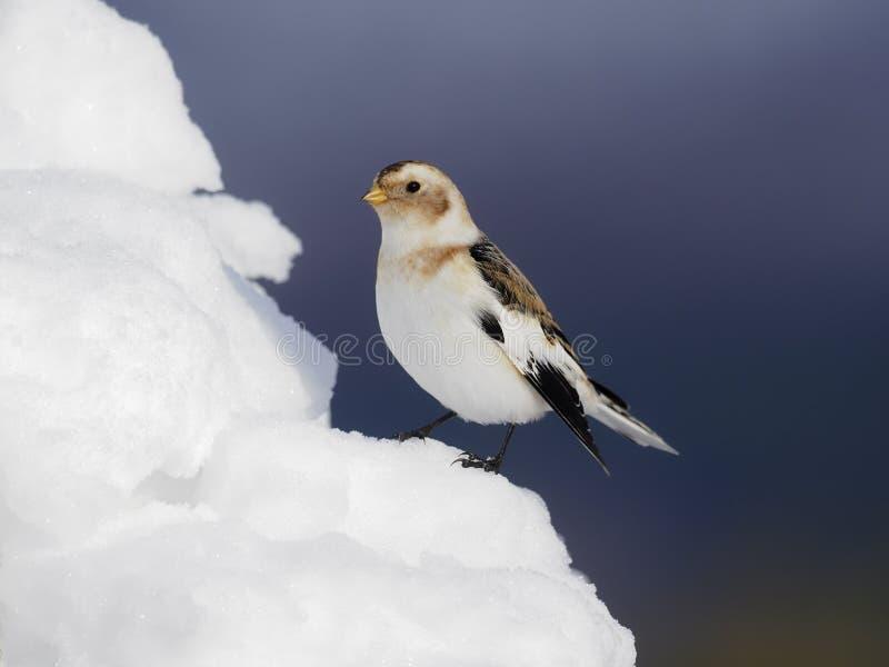 Płuczka śniegowa, Plectrofenax nivalis obrazy royalty free