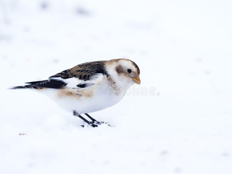 Płuczka śniegowa, Plectrofenax nivalis zdjęcia royalty free