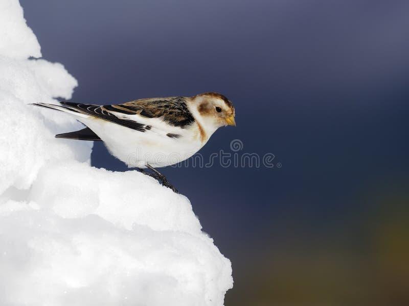 Płuczka śniegowa, Plectrofenax nivalis zdjęcia stock