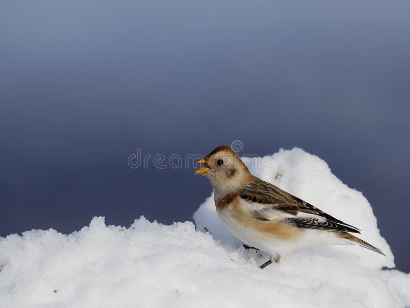Płuczka śniegowa, Plectrofenax nivalis fotografia stock