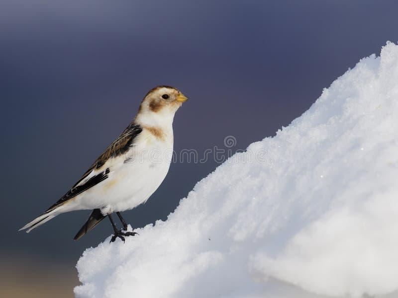 Płuczka śniegowa, Plectrofenax nivalis zdjęcie royalty free