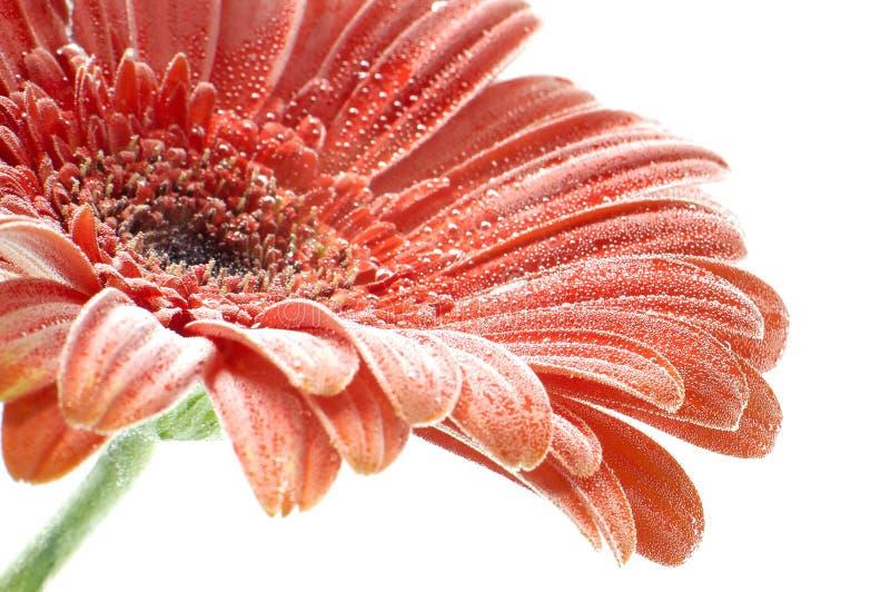 płyn do closup gerbera czerwonego kwiatu fotografia royalty free