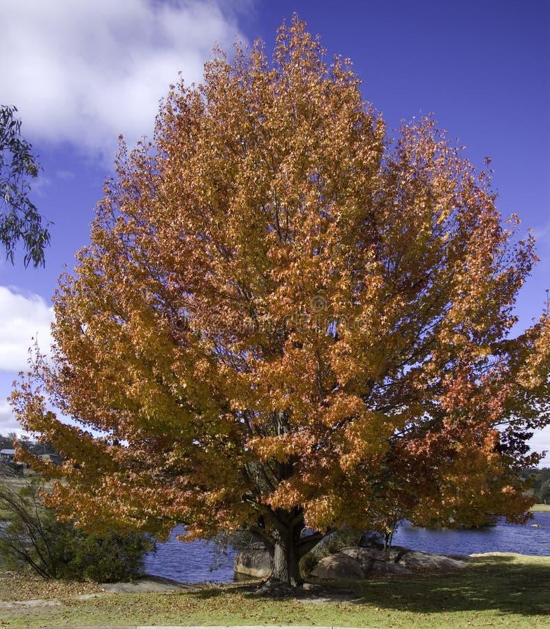 płynne złoto drzewo. zdjęcie royalty free