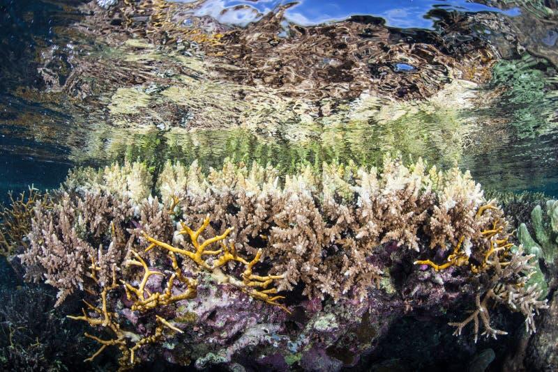 Płytcy korale Z Bielić poradami zdjęcie royalty free