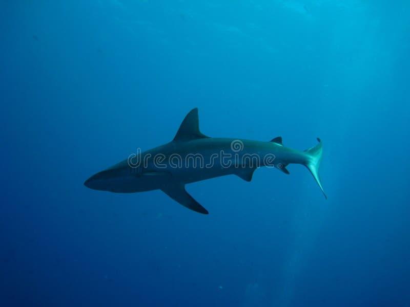 płytki rekinu dopłynięcia wody wielorybnik zdjęcie royalty free