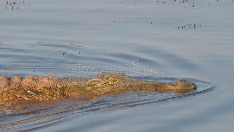 Pływać Nile krokodyla zdjęcia stock