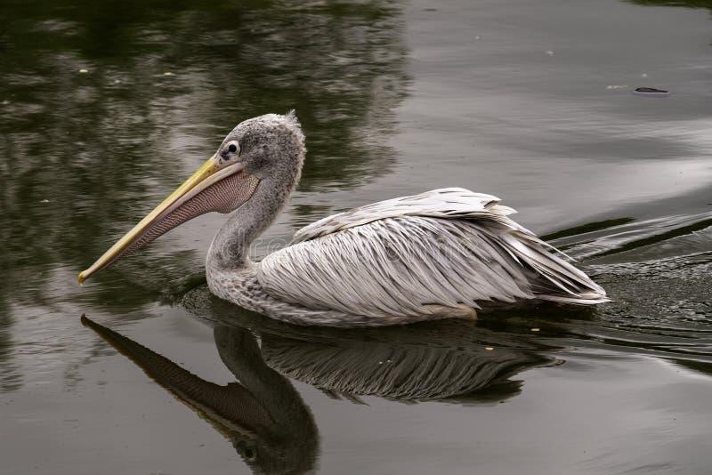 Pływać popierających pelikana Pelecanus rufescens fotografia royalty free