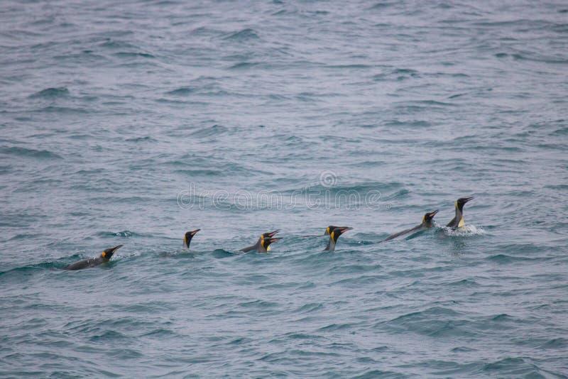 Pływaccy królewiątko pingwiny zdjęcia royalty free