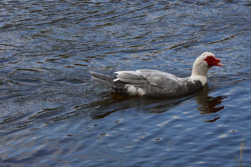 Pływacka kaczka w pięknym kolorze obraz royalty free