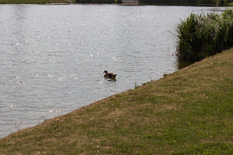 Pływacka kaczka z trawą w przedpolu fotografia stock