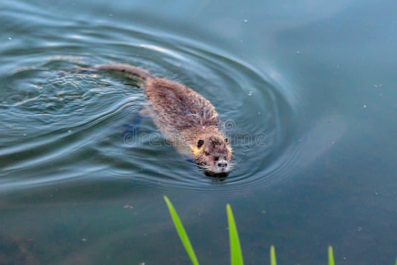 Pływacki piżmoszczur w stawie blisko Hillsboro, Oregon obrazy royalty free
