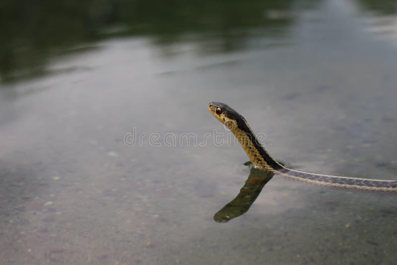 Pływacki podwiązka wąż obrazy royalty free