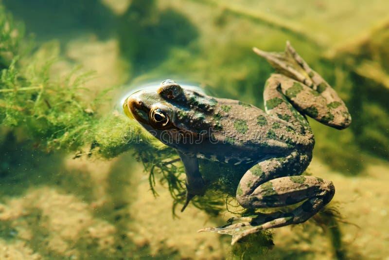 Pływackiego zielonej żaby bagna naturalny siedlisko, brown kamuflażu Pelophylax płazi ridibundus W górę widoku, selekcyjna ostroś obrazy royalty free
