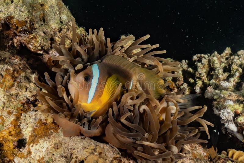 Pływanie ryb w Morzu Czerwonym obrazy stock