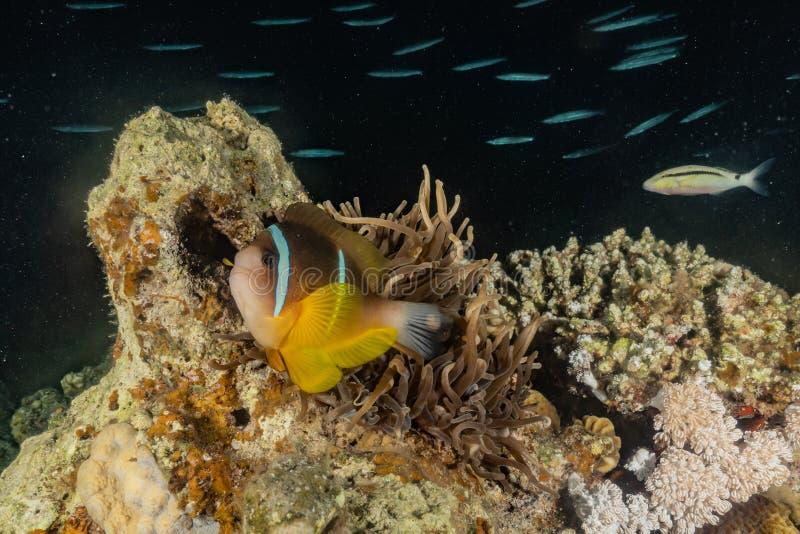 Pływanie ryb w Morzu Czerwonym zdjęcie royalty free