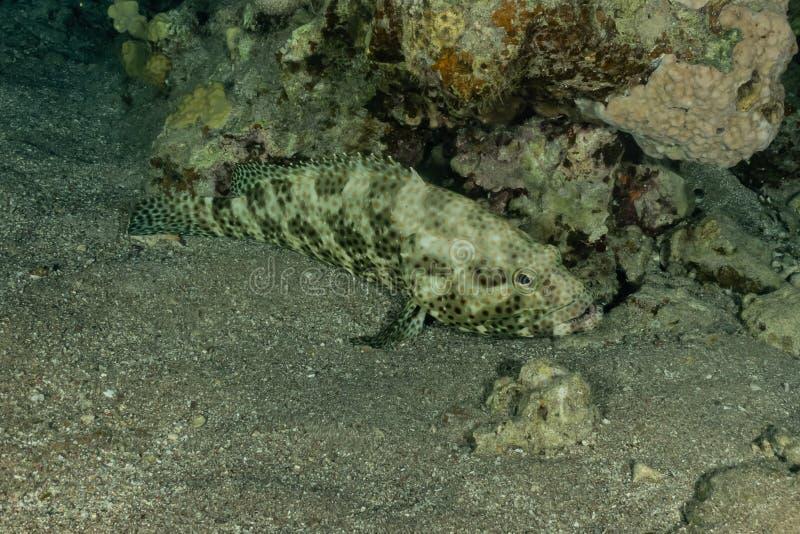 Pływanie ryb w Morzu Czerwonym fotografia stock