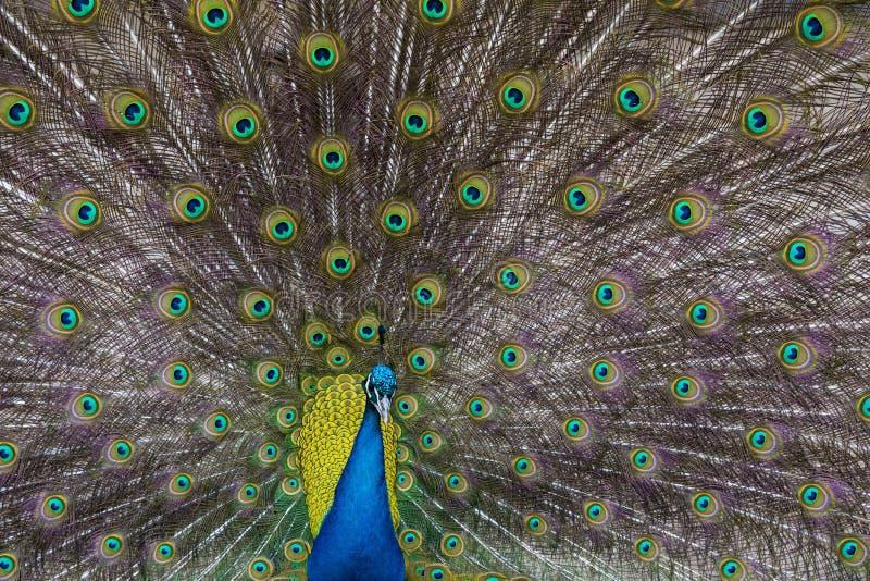 P?f?gel Textur av färgrika fjädrar arkivfoton