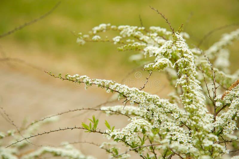 P? filial blommade spireaen m?nga sm? blommor Texturera eller bakgrund fotografering för bildbyråer