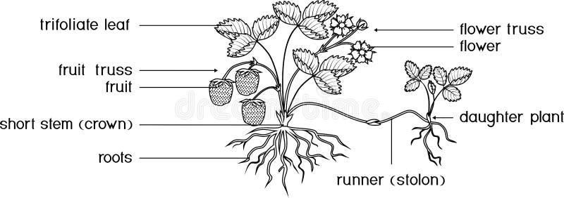 Partes De La Planta Morfología De La Planta De Guisante Con