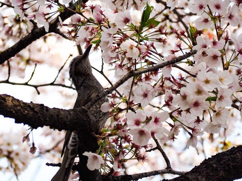 P?jaro con Sakura Peque?o p?jaro en primavera con la flor Sakura de la cereza del flor fotos de archivo