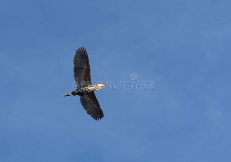 P?jaro de vuelo en el lago Phatthalung, Tailandia Thalenoi imagenes de archivo