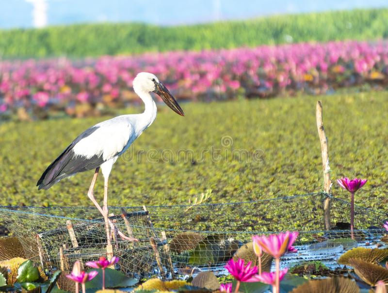 P?jaro en el lago Phatthalung, Tailandia Thalenoi foto de archivo